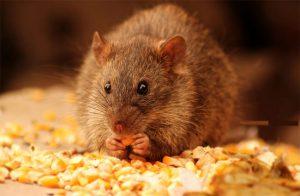 Những cách ngăn chặn chuột vào nhà cực kỳ dễ thực hiện
