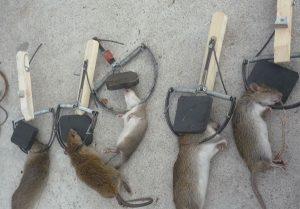 15 Cách phòng và diệt chuột hiệu quả ngay tại nhà
