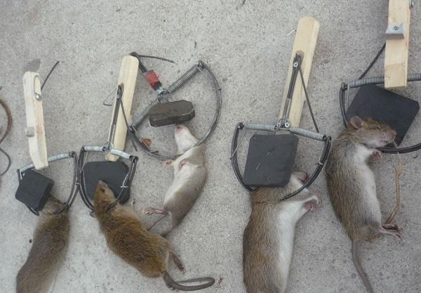 diệt chuột với Bẫy Chuột - Diệt côn trùng Anh Thư