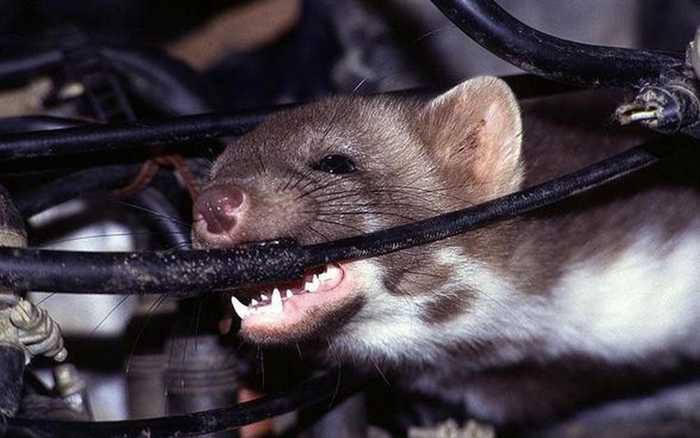 chuột phá hoại