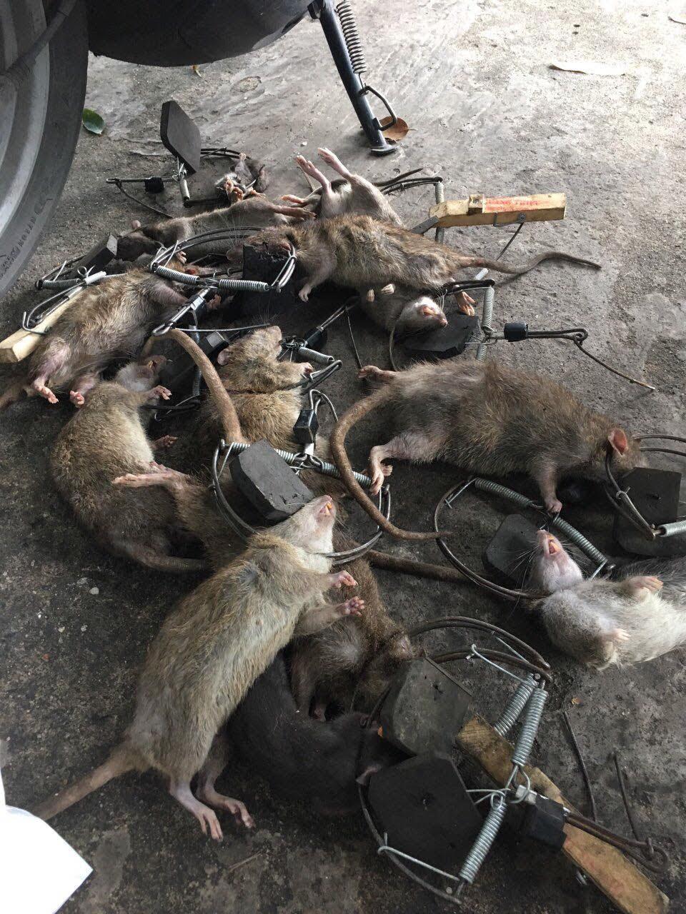 sử dụng bẫy chuột