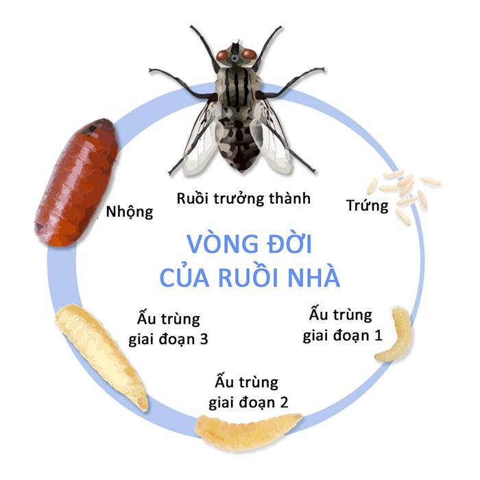 Vòng đời của ruồi