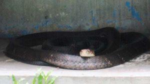 Cách phòng chống, xua đuổi rắn ra khỏi nhà đơn giản, hiệu quả