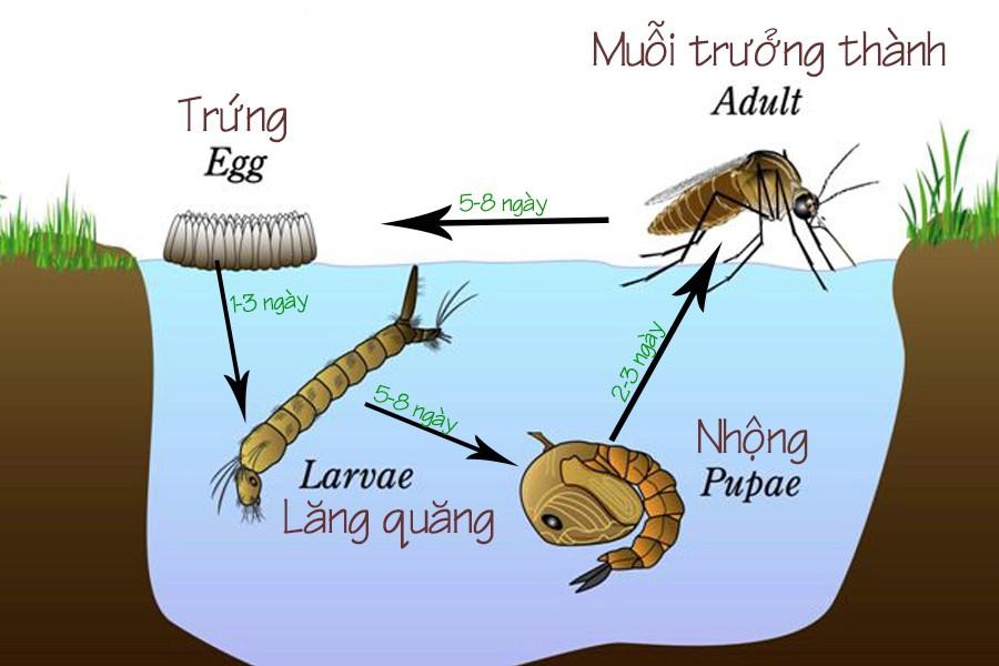 Vòng đời của lăng quăng - muỗi