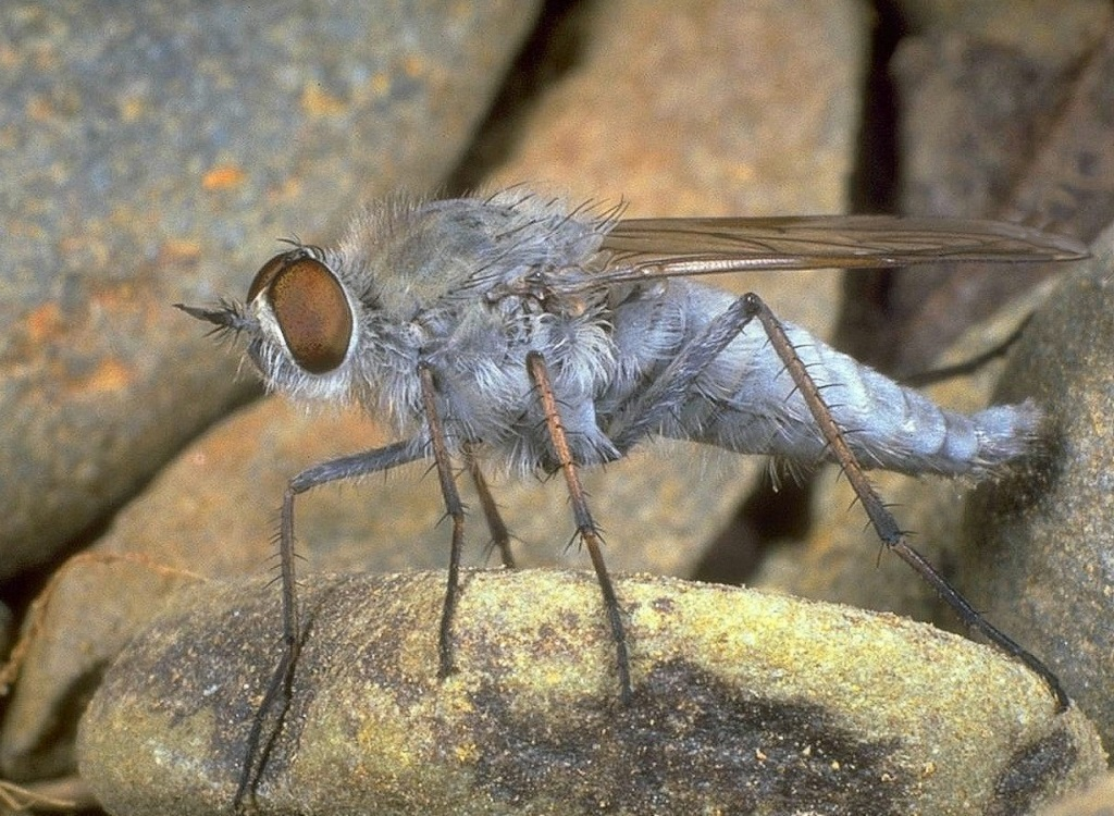 Đặc điểm của ruồi - Các loài ruồi thường thấy nhất