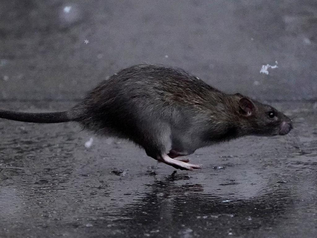 Chuột cống - Những điều này bạn đã biết chưa?