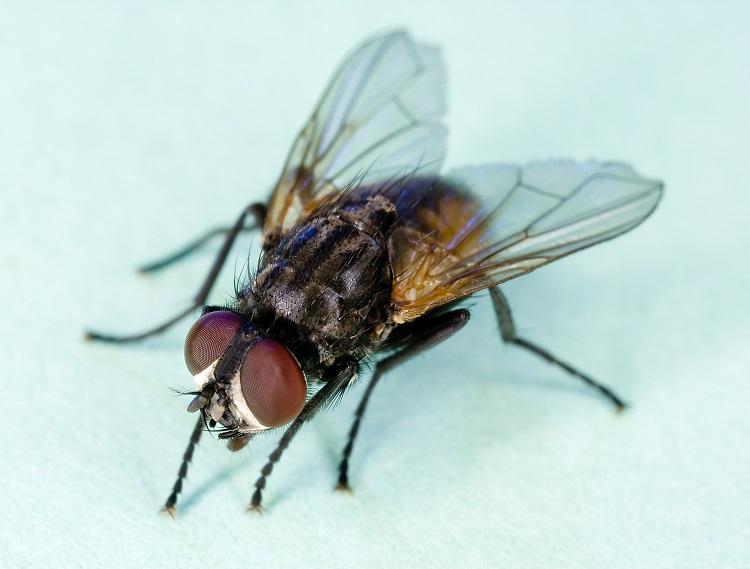 Đặc điểm của ruồi – Các loài ruồi thường thấy nhất