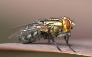 Những cách diệt ruồi vàng hiệu quả nhất