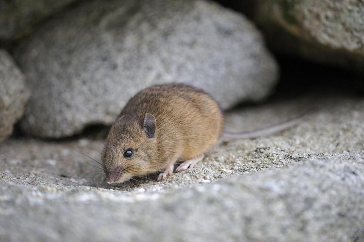Top 5+ cách đuổi chuột chù ra khỏi nhà hiệu quả ngay