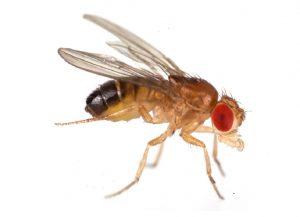 5 cách diệt ruồi giấm trong bếp, trong nhà hiệu quả nhất