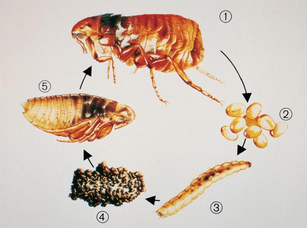 Bọ chét - Những cách diệt bọ chét tự nhiên tại nhà