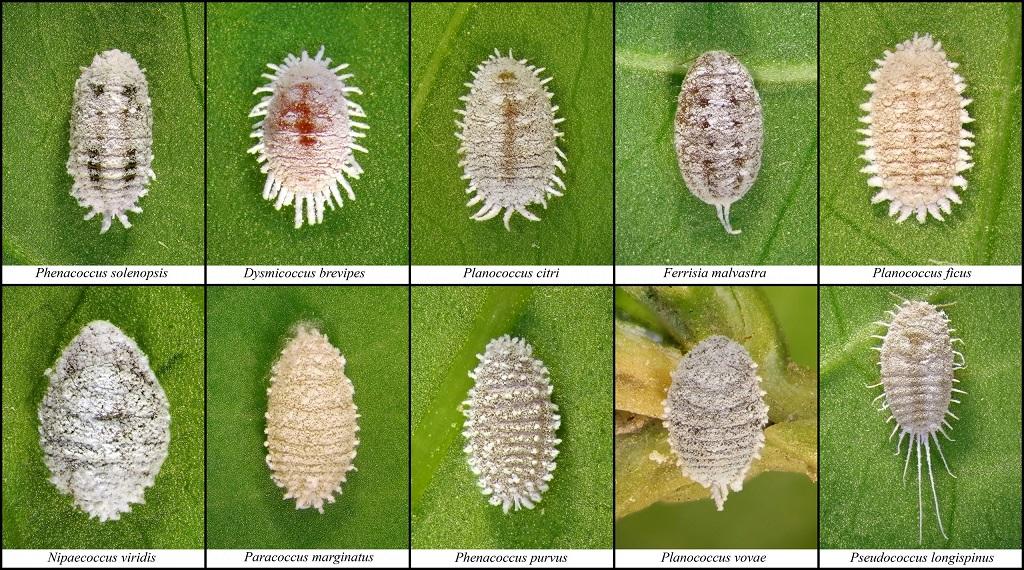 Rệp sáp - Đặc điểm hình thái của rệp sáp và cách trị chúng