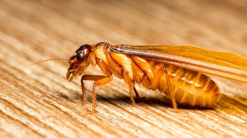 Các loài mối gây hại thường gặp tại Việt Nam