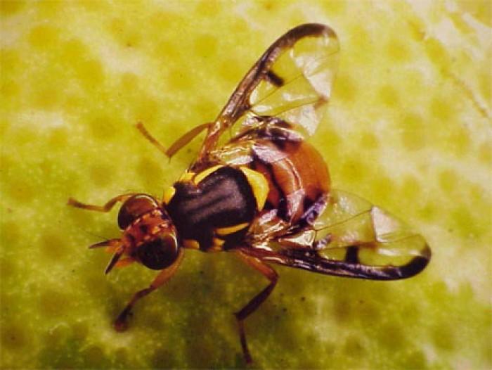 Đặc điểm của Ruồi – Các loài ruồi thường gặp nhất