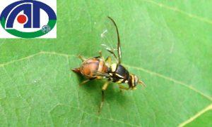 Tác hại của loài ruồi vàng