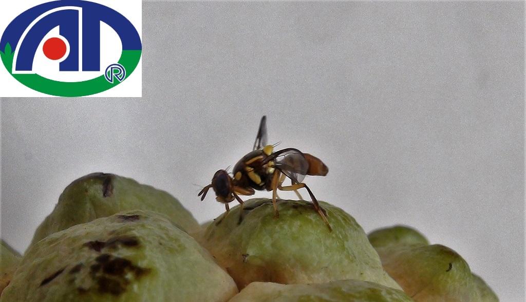 Tác hại của ruồi vàng