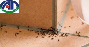 12 cách đuổi kiến đen ra khỏi nhà hiệu quả nhất