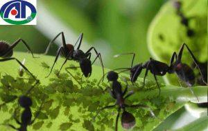 10 Cách diệt kiến đen trên cây trồng hiệu quả nhất